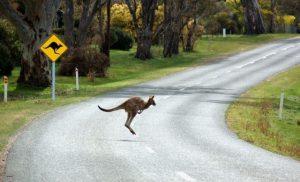 Känguru, das über die Straße hüpft. Im Hintergrund ein Känguru-Warnschild.