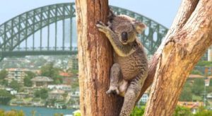 Koala auf Baum